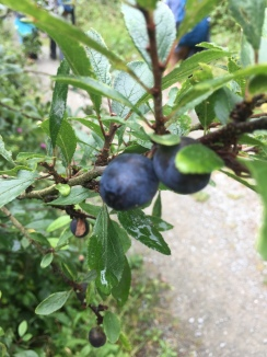 Some wild sloes