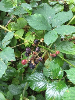 Wild edible blackberries