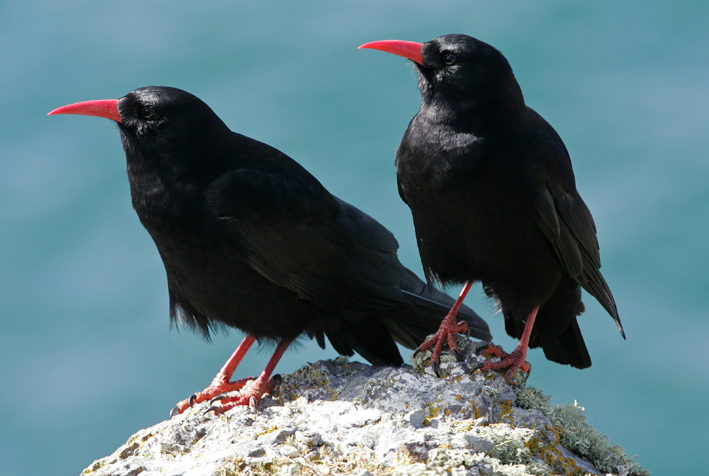 Chough-on-Ramsey-Island-St-Davids-Pembrokeshire-Wales-UK-e1486911929237