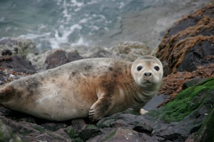 Common-seal-Caledonian-Adventures-resized