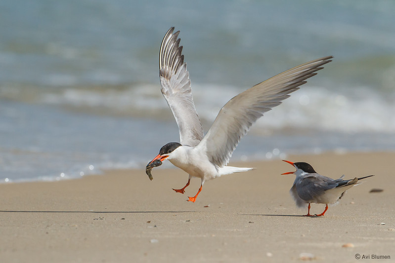 common tern ????? ??