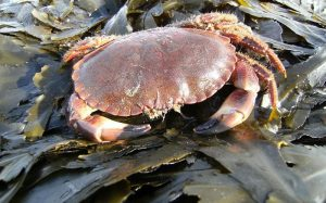 edible_crab_cancer_pagurus-800x500