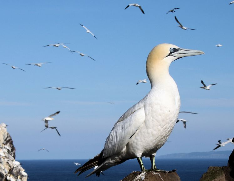 gannet - wildlfe articles