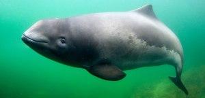 header-porpoises