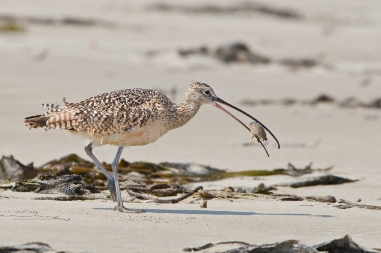 long-billed_curlew_eating_sand_crab