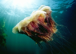 north-america-lions-mane-jellyfish-625x450