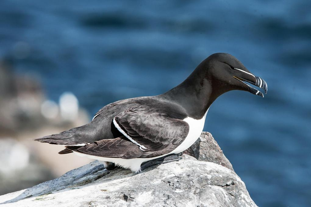 Razorbill_TonySmith_FlickrCC_314- Razorbill   Audubon Field Guide