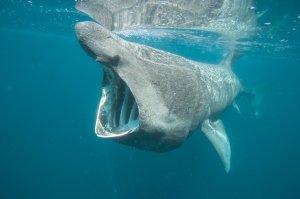 Riesenhai-vor-Sylt-gesichtet_master_reference