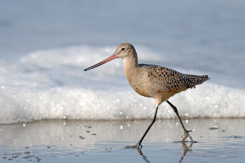 sandpiper-bird-walking-beach-sea-foam-19951615