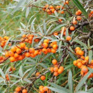 sea-buckthorn-hedge-plants-p101-2433_zoom