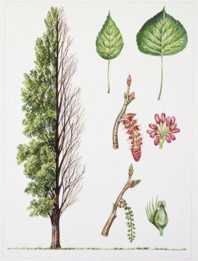 Black Poplar (Populus nigra), illustration