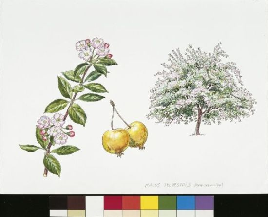 Crab apple tree (Malus sylvestris), plant with leaves and flowers, illustration
