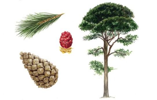 scots-pine-630x400