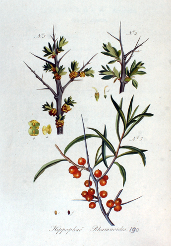Sea-buckthorn-plant-illustration-- health benifits times
