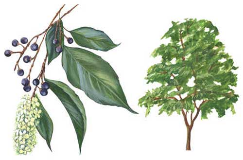 wild_cherry_botanical_drawing- richard whelan