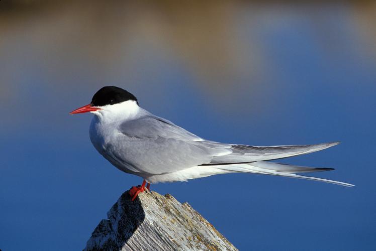 Arctic Tern m17-45-163_V- national audoubon society