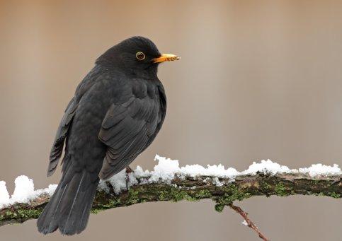 blackbirdsin-phys.org