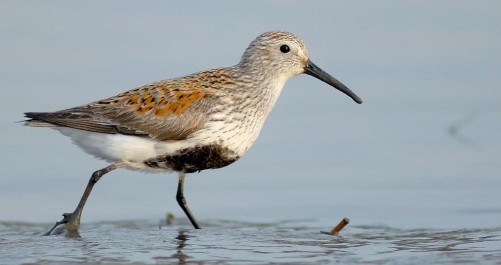 dunlins- allaboutbirds