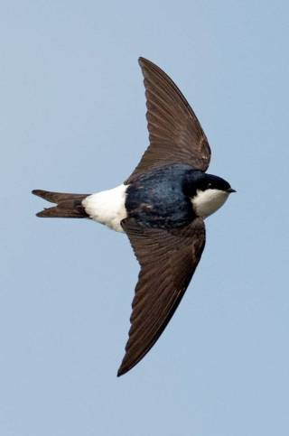 house martins, indipendant.ie