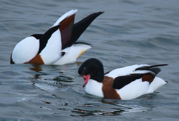 shelducks- flicker