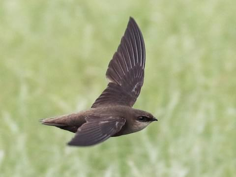 swift- all about birds