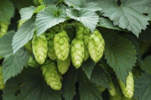 hops-cones-400x266