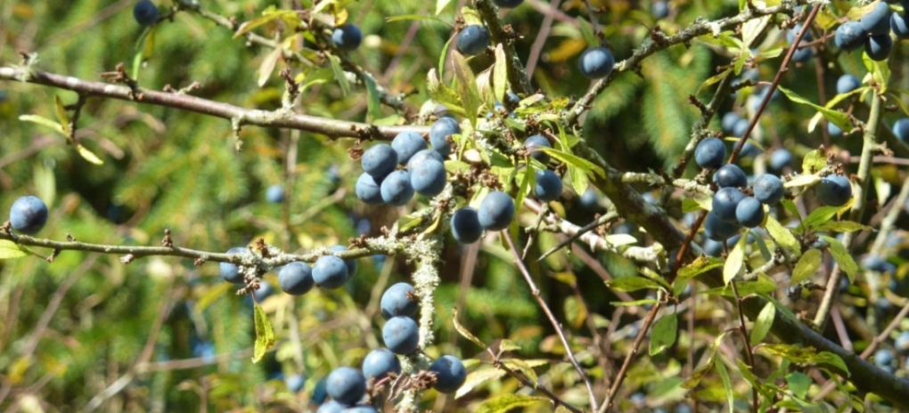 sloes-on-high-branches-lxk7vbxtpabwpcsl9ewvd8krnjc7l8oco3z8ts0fig