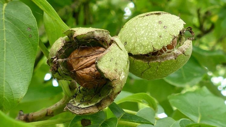 walnuts-1564979_960_720