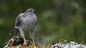 Goss hawk -woodlandtrust