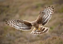 Hen harrier- wildsheffield.co.uk