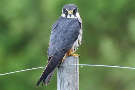 Hobby bird of prey
