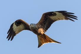 Kite - wildlifearticles