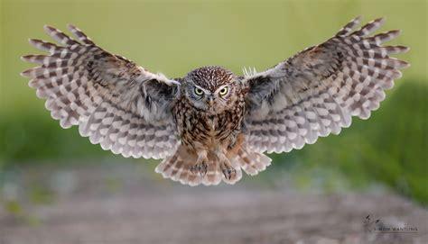 little owl-bordguides.com