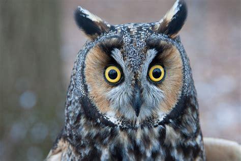 long eared owl- walldesk.com
