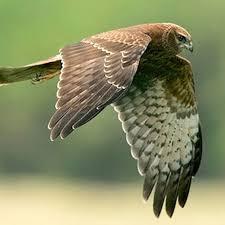 Marsh harrier- british birds of prey