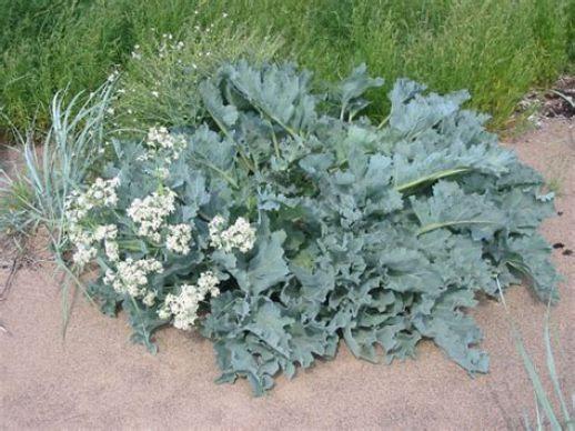 Sea cabbage