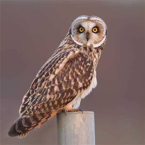 short eared owl- moorland association.org