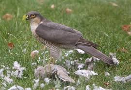 Sparrow hawk- nuturing-nature.co.uk