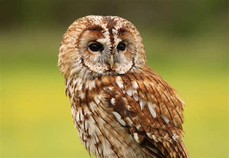 Tawny owl- walldesk.com