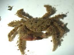 Bristly Crab- Image : malin.ac.uk
