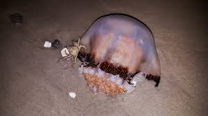Cannonball Jellyfish. Image flickr