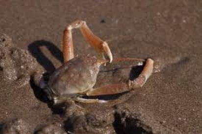 Masked Crab- Image : flick.com
