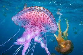 The Mauve Stinger jellyfish. Image : Sciencephoto.com
