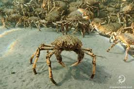 Spider Crab - image by rnz.co.nz