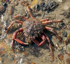 Spiny spider crab - image : glaucus.org.uk
