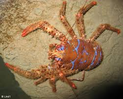 Spiny Squat Lobster- britishseafishing.co.uk
